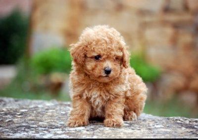 imagenes de perros de raza caniche toy