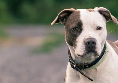 perro american staffordshire terrier
