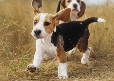 el beagle mas bonito del mundo
