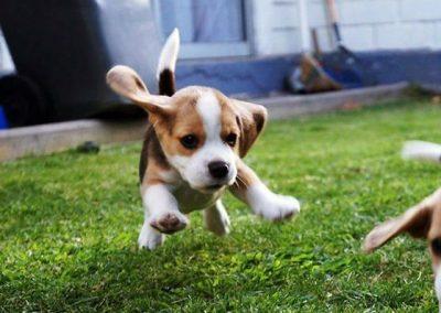 el beagle mas famoso del mundo