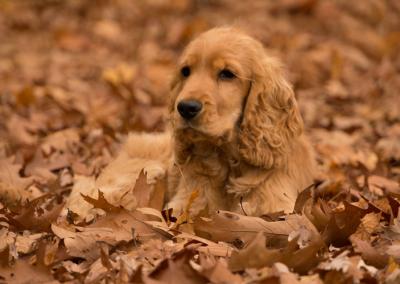 imagenes de perros cocker cachorros tiernos