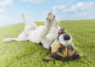 caracteristicas del jack russell terrier patas cortas