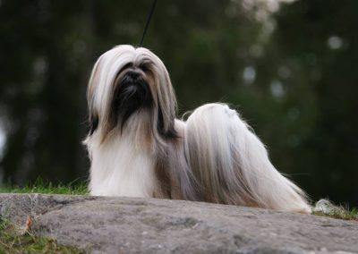 lhasa apso com poodle temperamento