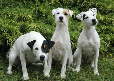 documental jack russell terrier
