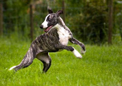 caracteristicas de perro whippet