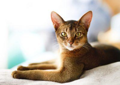 gato abisinio caracteristicas