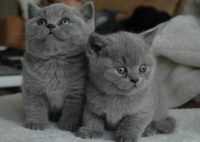 gatos british shorthair bebes