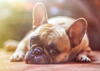 cuanto años vive un bulldog frances