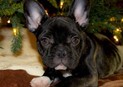 mejor pienso para bulldog frances cachorro