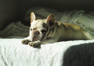 caracteristicas del bulldog frances puro