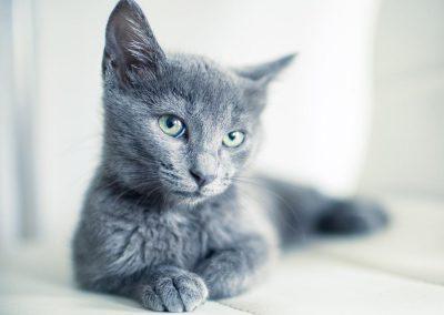 gatos azul ruso bebes
