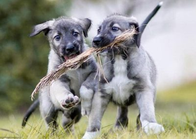 Cachorro Lobero Irlandes