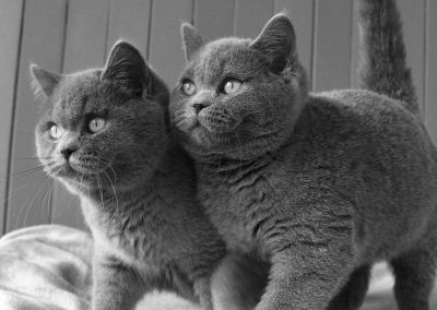 Cachorros British Shorthair Blue
