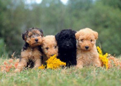 raza de perro lakeland terrier