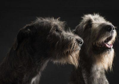 Cachorros Lobero Irlandes