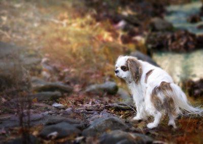 cuanto cuesta el perro cavalier king charles spaniel