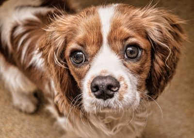 fotos de cachorros cavalier king charles spaniel