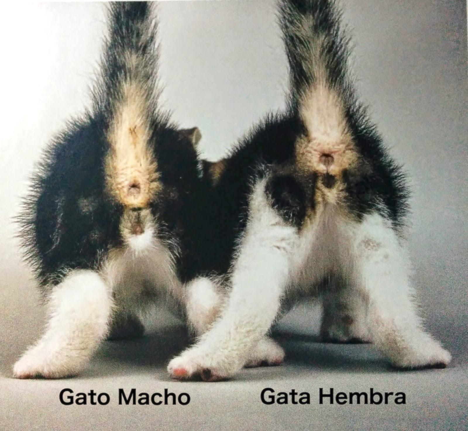 como saber si es gato o gata cuando son pequeños