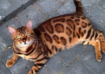 Comprar gato bengalí