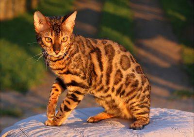 Cuanto cuesta un gato bengalí