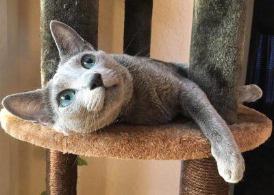 gato raza azul ruso precio