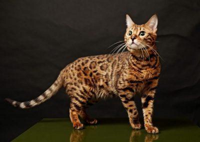 Gato Bengalí Precio