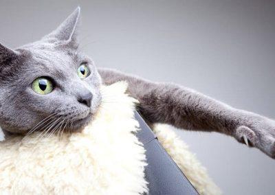 imagenes de gatos azul ruso
