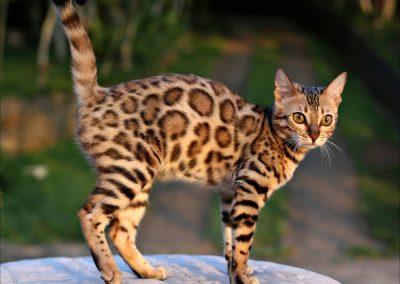 Gato Leopardo Bengalí
