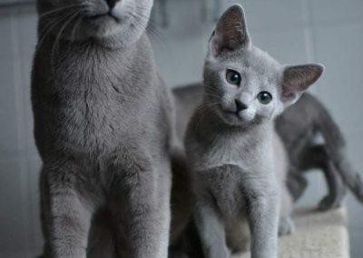 gato azul ruso cachorro precio