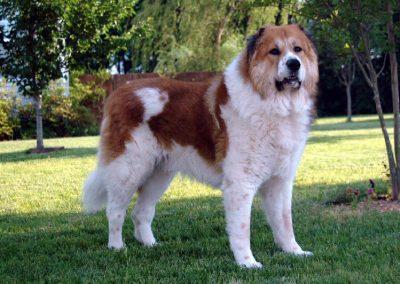 pastor caucasico cachorro