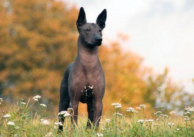 caracteristicas del perro xoloitzcuintle