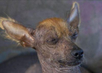 perro pila argentino wikipedia