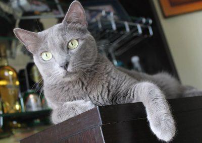 gato azul ruso ojos amarillos