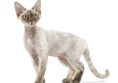 Raza de gato devon dex