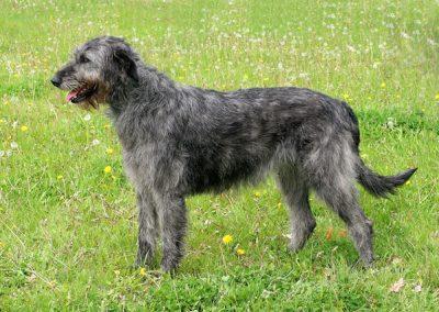 Perro Irish Wolfhound