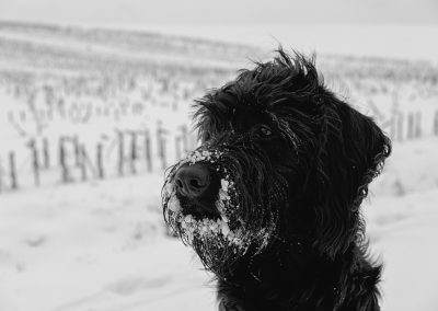 imagenes de perros schnauzer miniatura para descargar