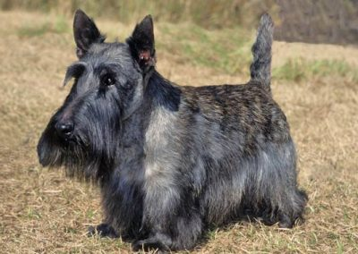 diferencia entre scottish terrier y west highland