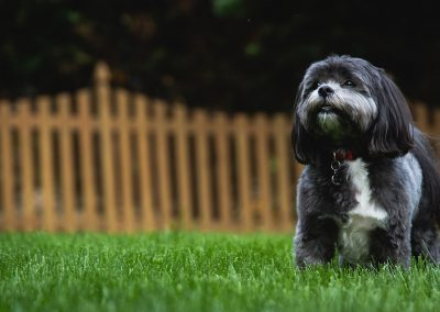 informacion sobre la raza de perros shih tzu