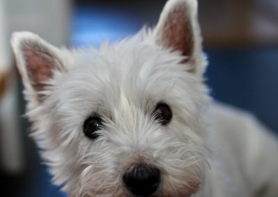 displasia epidermica del west highland white terrier