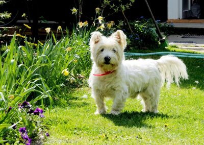 nombres para perros west highland white terrier