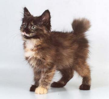 gato cymric precio