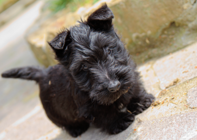perros scottish terrier+caracteristicas