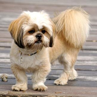 cachorro lhasa apso pelo corto