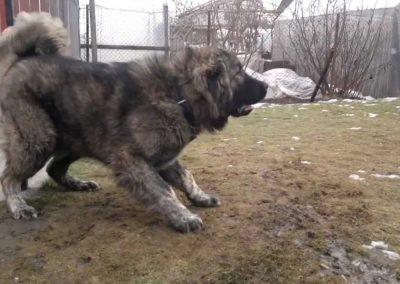 pastor caucasico mata a dos lobos