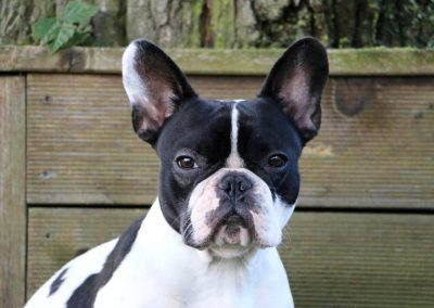 caracter del perro boston terrier