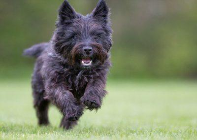 caracteristicas de los perros cairn terrier