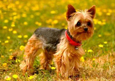caracteristicas de yorkshire terrier puro