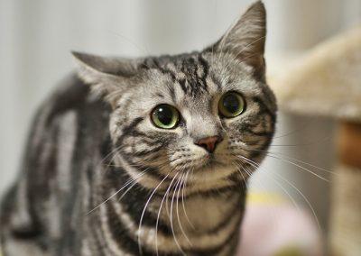 caracteristicas del gato american shorthair