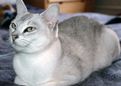 caracteristicas del gato burmilla