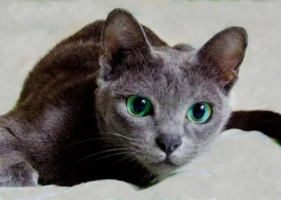 caracteristicas del gato korat